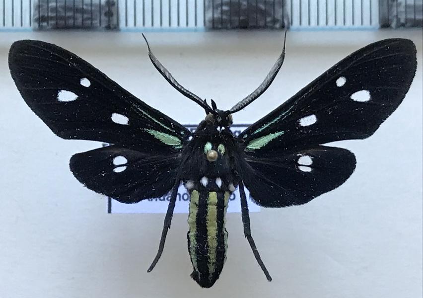 Calonotos chalcipleura mâle  Hampson, 1898