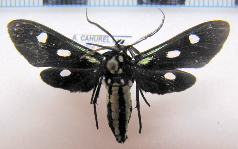 Calonotos triplagus  Hampson, 1909