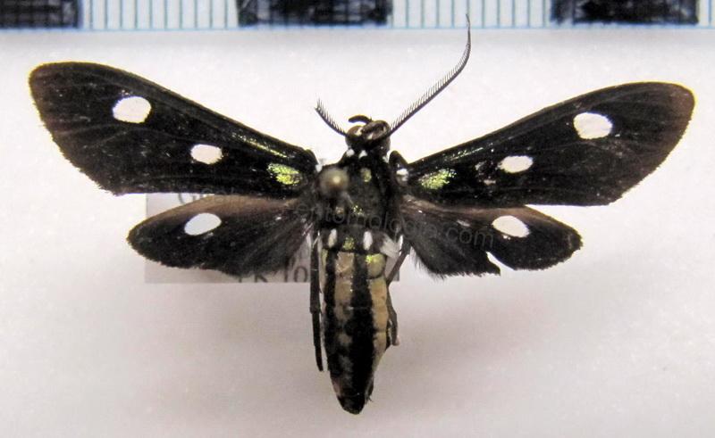 Calonotos tripunctatus male Druce, 1898