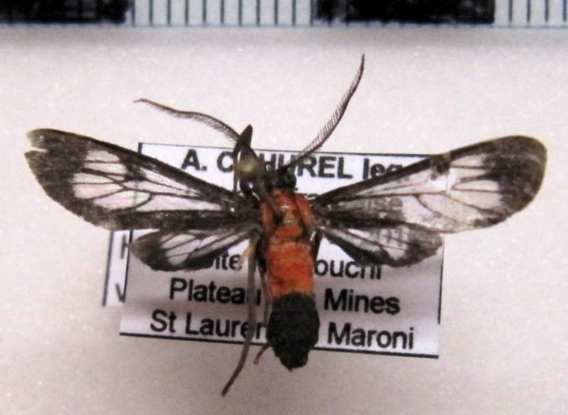 Holophaea vesta  (Möschler, 1878)