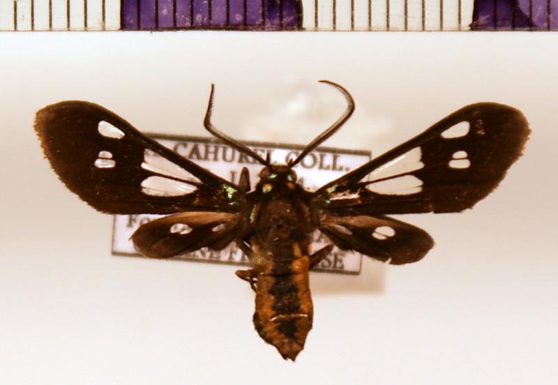 Mystrocneme varipes male  (Walker, 1854)